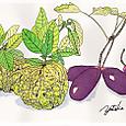 獅子柚子とアケビ