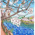 井ノ頭の桜