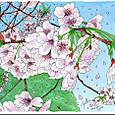 2016年 大島桜